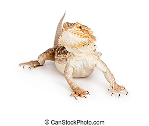 Bearded Dragon on White - A pet bearded dragon isolated on a...