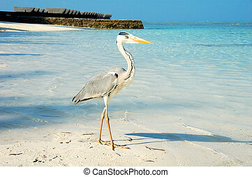 Grey Heron in the Maldives