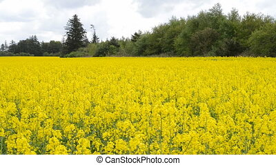 Field of rape plants