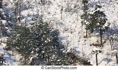 winter scenes - pine forest in winter, tilt shoot