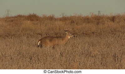 Whitetail Buck - a nice whitetail buck