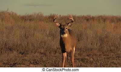 Whitetail Buck - a whitetail buck standing in a field