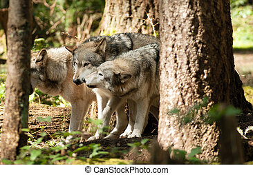 Wild Animal Wolf Pack Standing Playing North American...