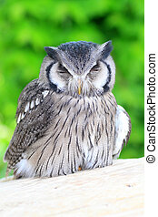 Southern White-faced Scops Owl (Ptilopsis granti)
