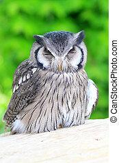 Southern White-faced Scops Owl (Ptilopsis granti)