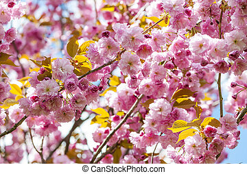 Cherry blossoms on spring cherry tree branches - Pink cherry...