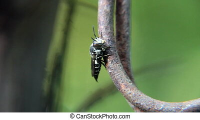 Black wasp on wire - Black wasp on corrosion iron wire