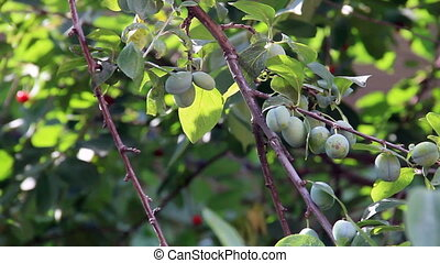 Sweet plum fruits - Green sweet plum on the tree