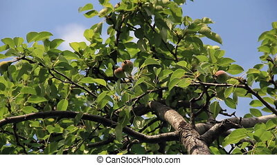 Pear tree branch with imature fruits on the wind