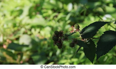 Immature fruits raspberries - Green sprig with immature...