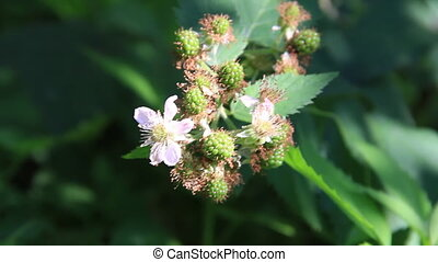 Raspberry plant - Raspberry fruits with flowers on the wind