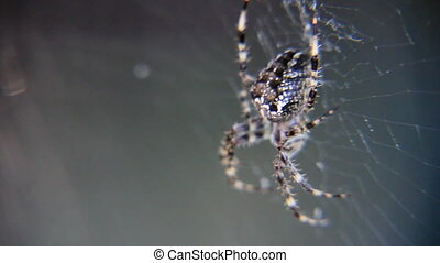 Araneus - Grey colour araneus in the web