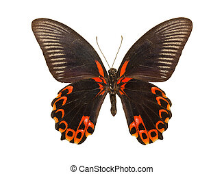 Butterfly Papilio deiphobus rumanzovia - Beautiful tropical...