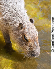 Capybara - Nice close up photo of Capybara drinking in zoo