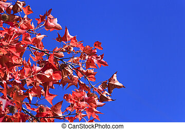 Formosa Sweetgum