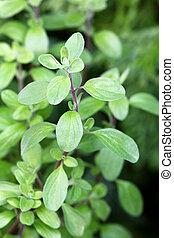Wild marjoram in the garden - Closeup photo of Wild marjoram...