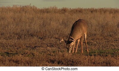 Whitetail Buck Feeding - a whitetail buck grazing