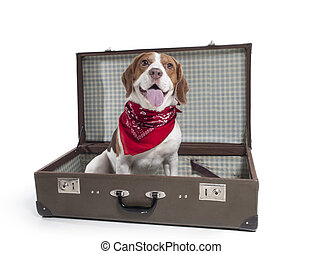 beagle with a suitcase on a white background in studio
