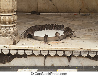 Rat Temple - Rats being fed milk in a large bowl at the Rat...