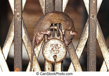 Sleeping Rat - Rat asleep on a padlocked gate inside the Rat...