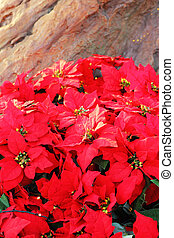 Beautiful poinsettia red christmas flower in nature