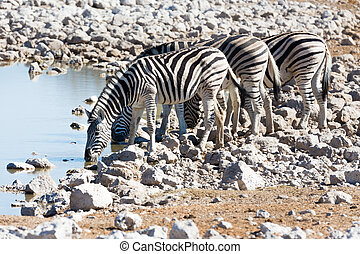 Zebra at waterhole - Side view of group of zebras at...