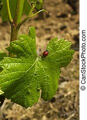 Ladybug and vine leaf - Ladybug on a vine in Burgundy.'s...