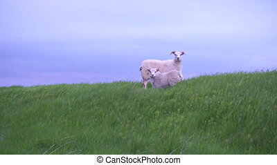 Iceland sheeps - Two curious iceland sheeps looking at...