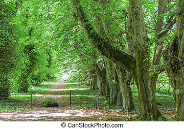 Green avenue with old trees at Muckross Abbey, County Kerry,...