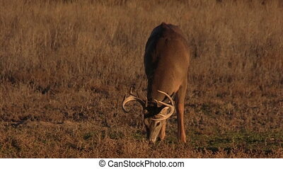 Whitetail Buck Grazing - a whitetail buck grazing