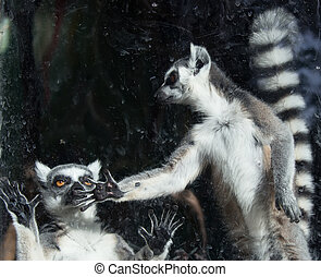 Ring-tailed lemur Lemur Catta behind a glass aviary zoo