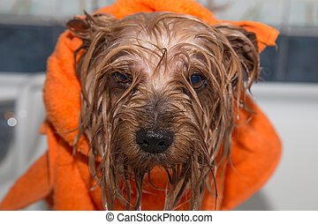 Little wet Yorkshire terrier with orange towel, after the...