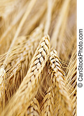 Wheat ears - Golden brown ripe wheat ears close up