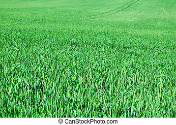 Green field of young wheat in springtime