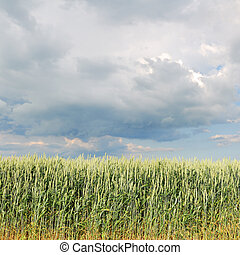 Edge of wheat field in spring with rainy clouds