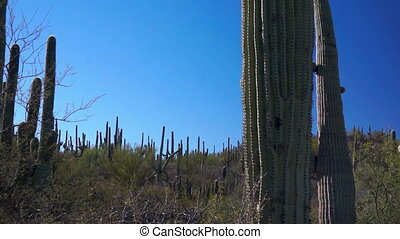 Saguaro Cactus Forest Dolly - Forest of saguaro cactus...