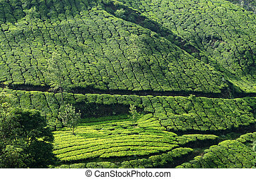 green tea gardens in Munnar,India - Beautiful fresh green...
