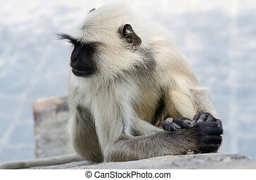 Portrait of Gray langur or Hanuman langur, the most...