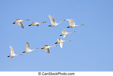 Tundra Swans in Flight - Tundra Swans flying in formation on...
