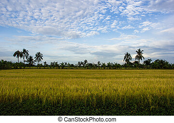 Padi Field, Nakornpathom, Thailand - Yellow Padi Field is...