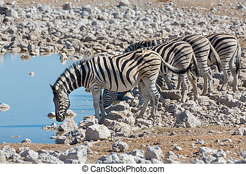 Zebras at waterhole - Side view of group of zebras at...