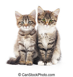 Two small kittens - Two small Siberian kittens on a white...