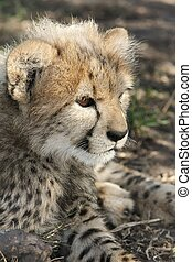 Cheetah Cub - Baby cheetah cub with typical fluffy fur