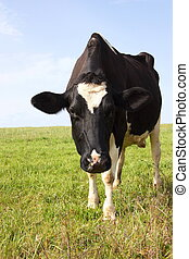 Hello down there - A Holstein-Friesland dairy cow looking...