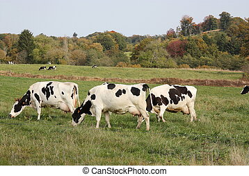 Milk Production - Full Udders - Three Holstein-Friesland...