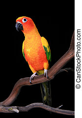 Curious Sun Conure Parrot Looking Ahead - Curious Sun Conure...