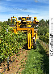 Havesting Grapes - A grape harvester in a vineyard on the...