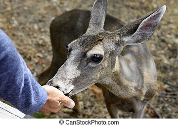 Doe detailed portrait. California. Yosemite National Park
