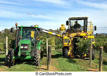 Harvesting Grapes - A grape harvester loading freshly picked...