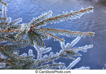 Fir branch. - Fir branch in a white frost close-up on the...